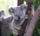 Cutekoala in Londooonn